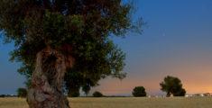 Los Olivos Centenarios de Salento