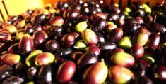 Aceitunas taggiasche, El aroma de Liguria