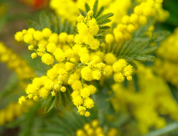 Festival of the Mimosa 2018