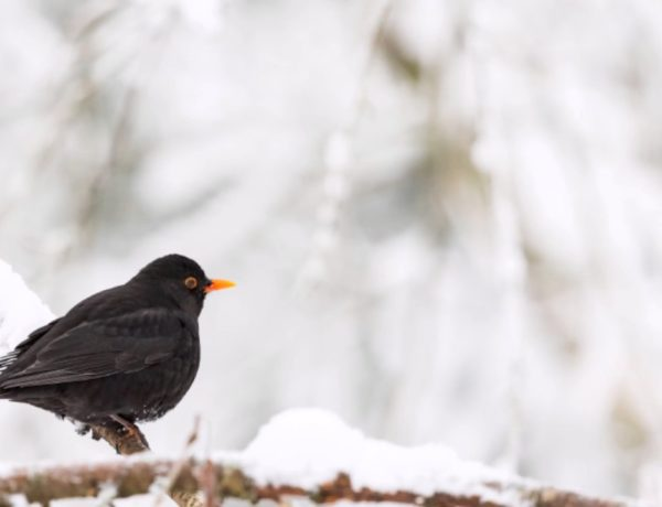 The days of the Blackbird: the legend