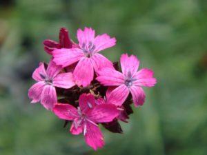 fiori-italia