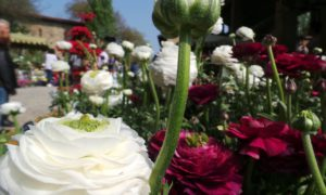 May month of roses: the FAI event