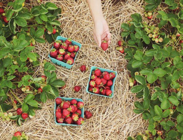 Maggio in Italia è il mese delle fragole