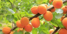 Italian liqueurs: Apricot distillate of Vesuvius